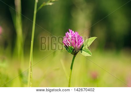 Blooming Wildflowers Of Alsike Clover Or Trifolium Hybridum In Summer Spring Field At Sunset Sunrise. Close Up, At Green Background, Copyspace.