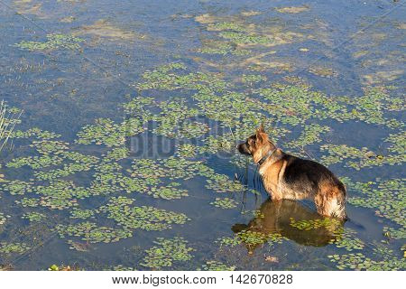 German shepherd dog stands into water of lake and looks into the distance