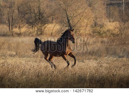 Brown Horse Run On The Yellow Grass On The Yellow Threes Background