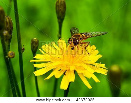 Small striped bee sitting on yellow dandelion