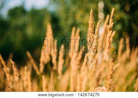 Beautiful Stem Dry Grass In Sunset Sunlight. Autumn Season