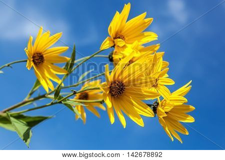 Yellow flowers against the blue sky. Flowering artichoke.
