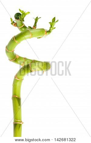 Branch of fresh green bamboo isolated on white background.