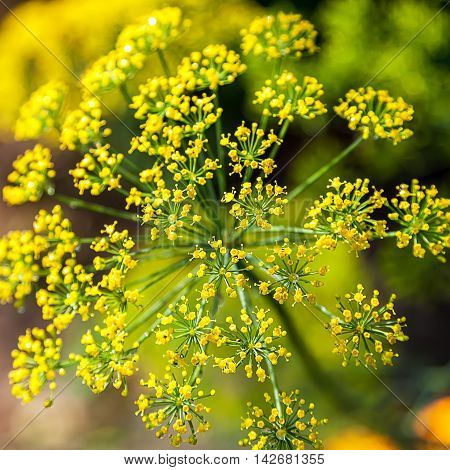 Dill inflorescence on a the green background.