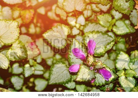 Flowers - Lamium maculatum also known as spotted dead-nettle spotted henbit and purple dragon. Summer flower landscape. Focus at the flower
