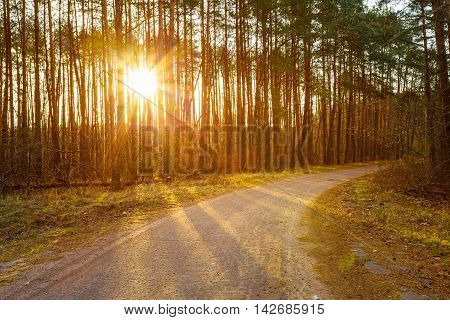 Road, Path, Walkway Through Forest. Sunset Sunrise In Autumn Coniferous Forest Trees. Nature Woods. Sunlight Through Woods