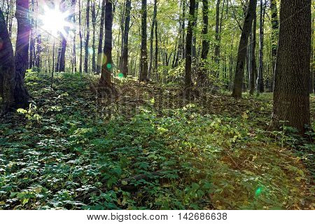 Green deciduous forest on a sunny day.