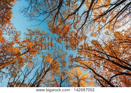Oak Trees Canopy With Yellow Foliage. Nobody In Autumn Woods Forest. Natural Background