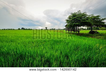 Rice Cornfield with the Hut, Phichit, Thailand