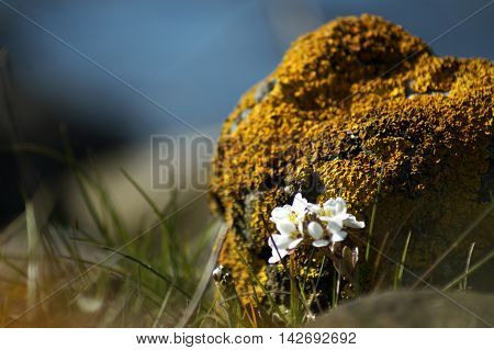 Rock covered in yellow lichens with white flower growing in front