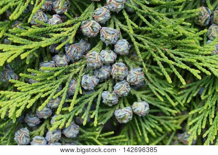 Evergreen thuja with beautiful flowers in summer.