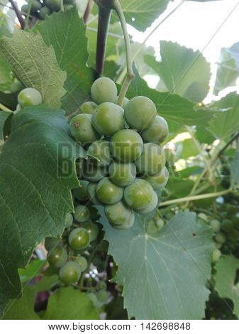 Bunch of young green grapes ripening on a branch at sunset vineyard in summer