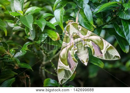 Close up macro green butterfly oleander Hawk moth on the leaf