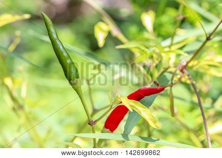 close up Green chili on chili tree