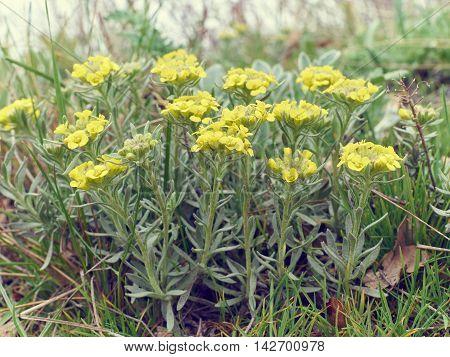Immortelle - Helichrysum Arenarium,  Dwarf Everlas