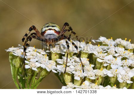 Beautiful macro shot of a spider on a flower in the wild. (Argiope bruennichi)