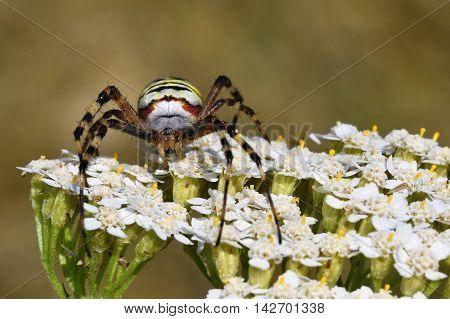 Beautiful macro shot of a spider on a flower in the wild. (Argiope bruennichi)