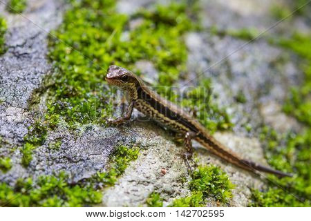 Common Forest Skink In Forest