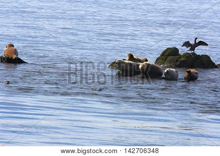 Over rocks in Atlantic Ocean Bay of Fundy (New Brunswick and Nova Scotia) Canada Group Seals (gray and harbour types) from medium brown to gray aquatic black bird Cormorant stretching wings to dry