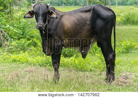 Black cow in the farm at the countryside