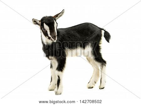 little goat animal on a white background