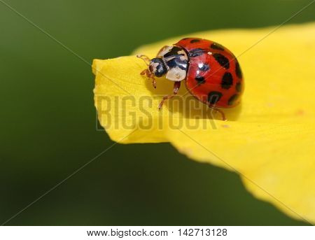 a beautiful ladybug that looks great. a beautiful picture that you can essentially look