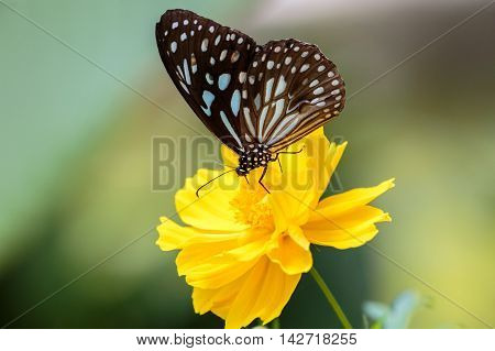 A blue tiger butterfly on a yellow flower, Kerala, India