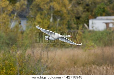 Mute swan flying over wetlands wings spread