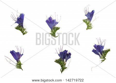 Set of pressed and dried blue flowers echium vulgare isolated on a white background.