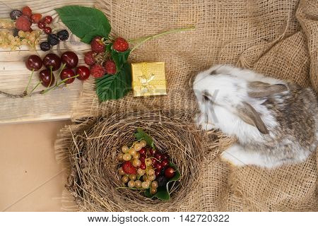 Funny little rabbit and fresh berries currants strawberries raspberries in bird nest and on wooden board with golden gift box on burlap background
