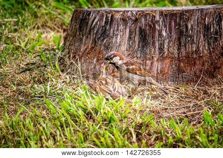 Sparrow in the green grass nature park.