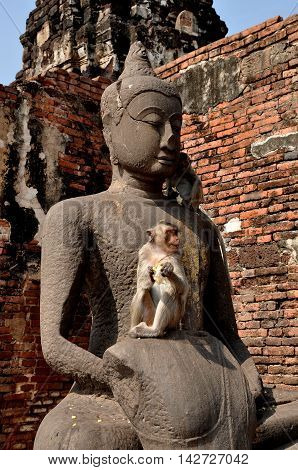 Lopburi Thailand - December 29 2013: A monkey eats an ear of corn sitting on a Buddha statue at the ruins of historic Khmer Wat Phra Prang Sam Yot