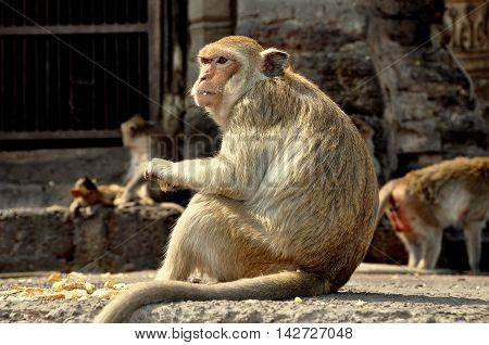 Lopburi Thailand - December 29 2013: Monkeys sitting and eating on the ruins at historic Khmer Wat Phra Prang Sam Yot
