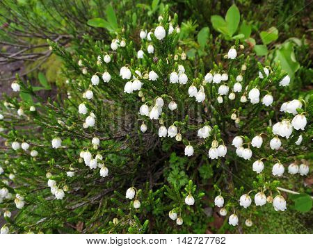 White Mountain Heather (Cassiope mertensiana) blooming in an alpine meadow