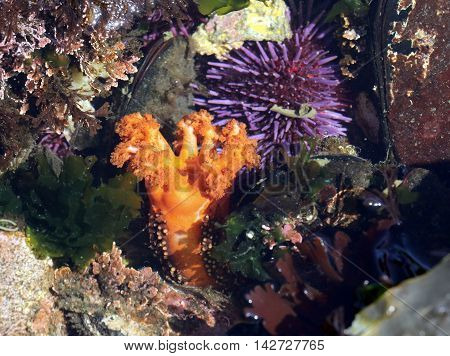 An Orange Sea Cucumber (Cucumaria miniata) in a tide pool