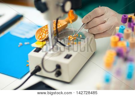 Laboratory assistant in the laboratory of of food quality. Testing the quality of corn
