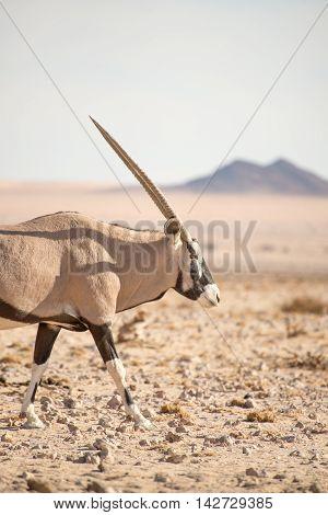 Oryx Walking Along In Desert Landscape.