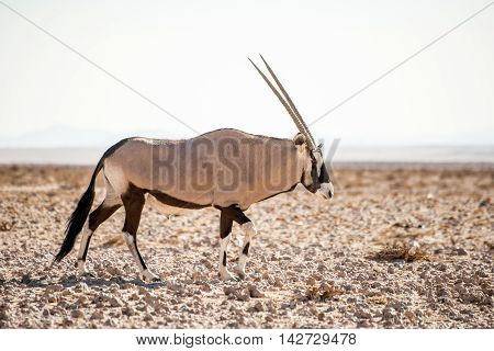 Single Oryx In Namib Desert.