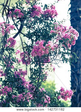 ink oleander Bush as the retro background lots of small flowers
