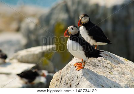 A couple of Atlantic puffins sharing the same rock