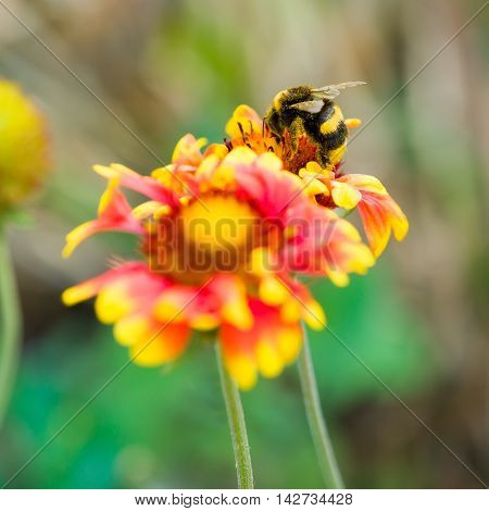 Bumblebee pollinating a yellow flower close-up .