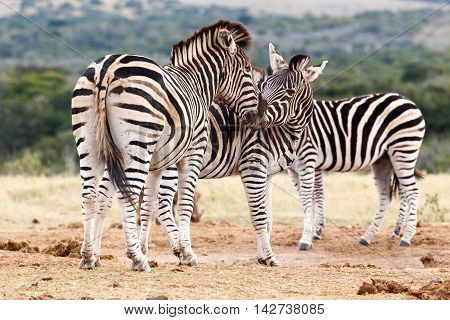 Kiss The Girl - Burchell's Zebra