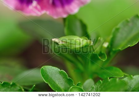 A new Pansy flower bud in a garden
