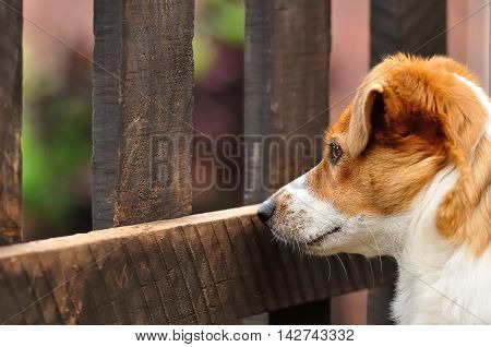 A beautiful attentive Jack Russel pup sitting in a garden