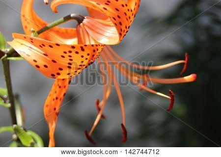 Orange tiger lily flower side view black spots