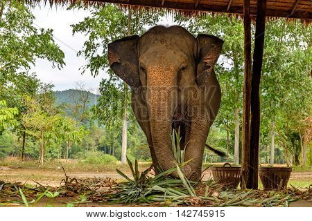 Asian elephant eating green grass and looking at camera surface texture background alive wild animal travel in Koh Chang island Thailand. Soft focus