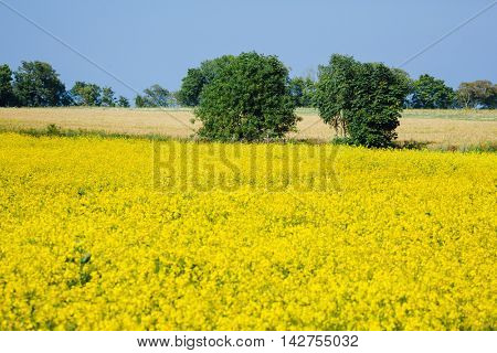 yellow rape flowers field