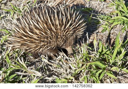 echidna on the dry ground of Australia outback