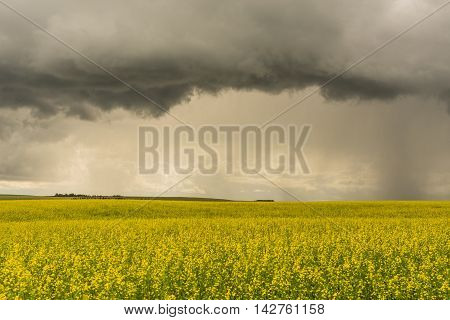 Landscape of a thunder storm over the bright yellow of a canola field.