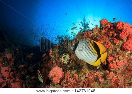 Coral reef and fish. Underwater ocean landscape. Lined Butterflyfish